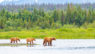 rown Bear and Two Cubs against a Forest and Mountain Backdrop at Katmai National Park, Alaska