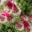 South Africa Cape fynbos flowers