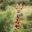 Giraffe looking over tree