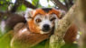 Time + Tide Miavana lemur