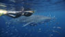 SS-Ningaloo Reef-Swimming-with-whale-sharks-small fish
