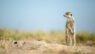 Meerkat, Botswana