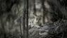 Jungle Cat, Kanha National park, Madhya Pradesh, India.