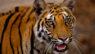 Bengal Tiger, Bandhavgadh N.P.India